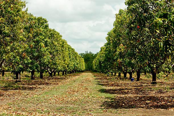plantación de árboles de mango - mango fotografías e imágenes de stock