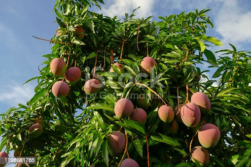 Mango tree with ripe fruits. Close up of the treetop.