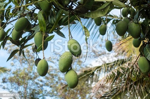 A bunch of mangoes hangs from a tree on a farm in Kolar district, about 90 kilometers from Bangalore, in Karnataka state, India.