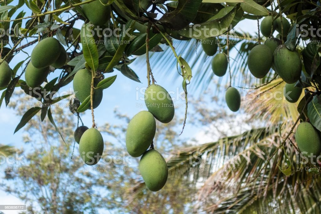 Mangoes hanging from tree stock photo