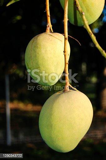 Mango (Mangifera indica) fruit hanging on the tree