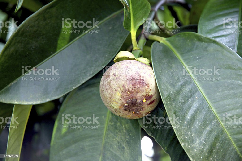 Mangosteen is not yet ripe. royalty-free stock photo