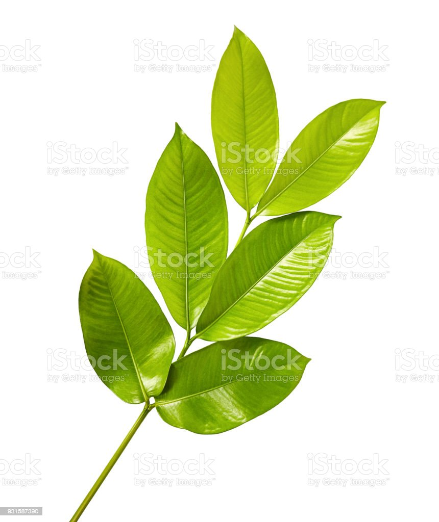 Mangosteen leaves, Tropical evergreen tree, Foliage of mangosteen isolated on white background with clipping path stock photo