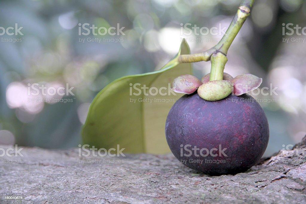 Mangosteen put on the tree. royalty-free stock photo