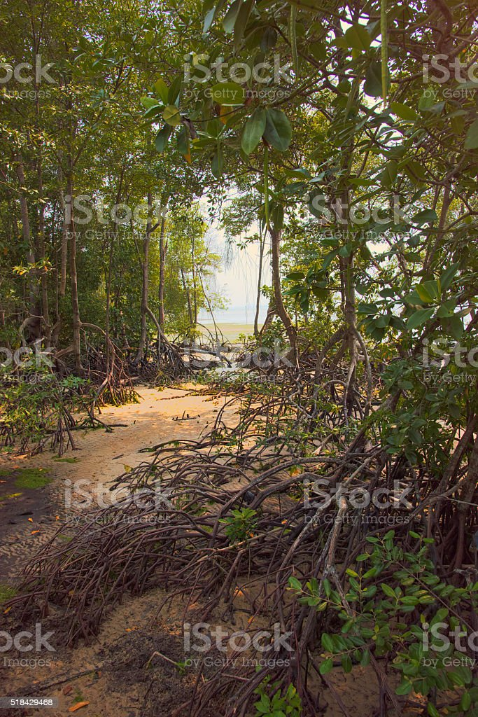 Mangrove forest at low tide stock photo