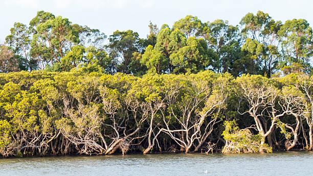 Mangrove Forest NSW Australia stock photo