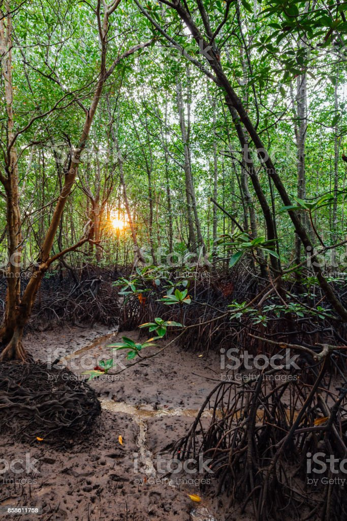 A mangrove forest on the Krabi River, Thailand stock photo