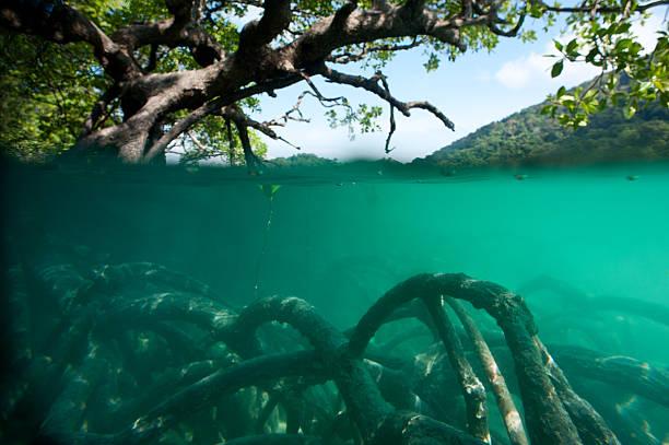 Mangrove forest – Foto