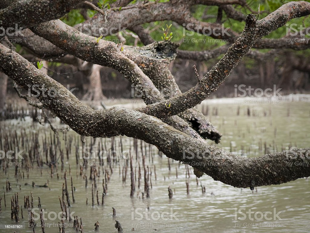 Mangrove forest royalty-free stock photo