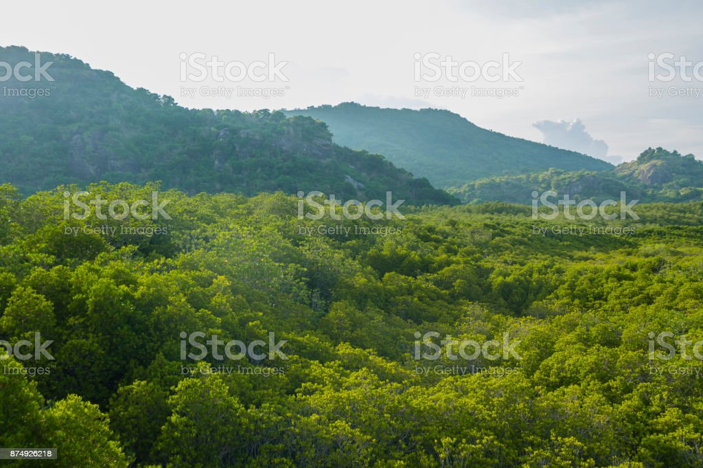 Mangrove forest with the mountian background stock photo