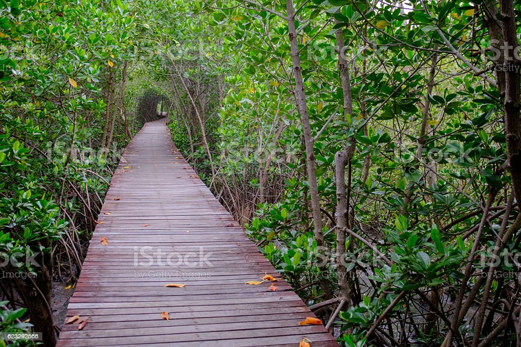 Mangrove forest with wood walkway bridge. stock photo
