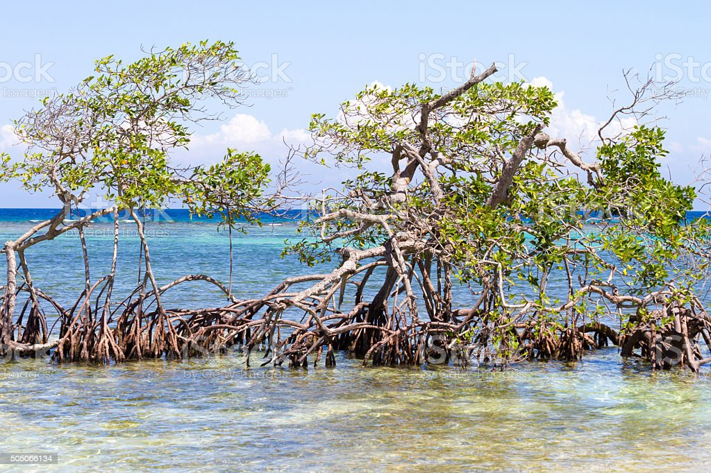 Mangrove growing in the off-shore stock photo