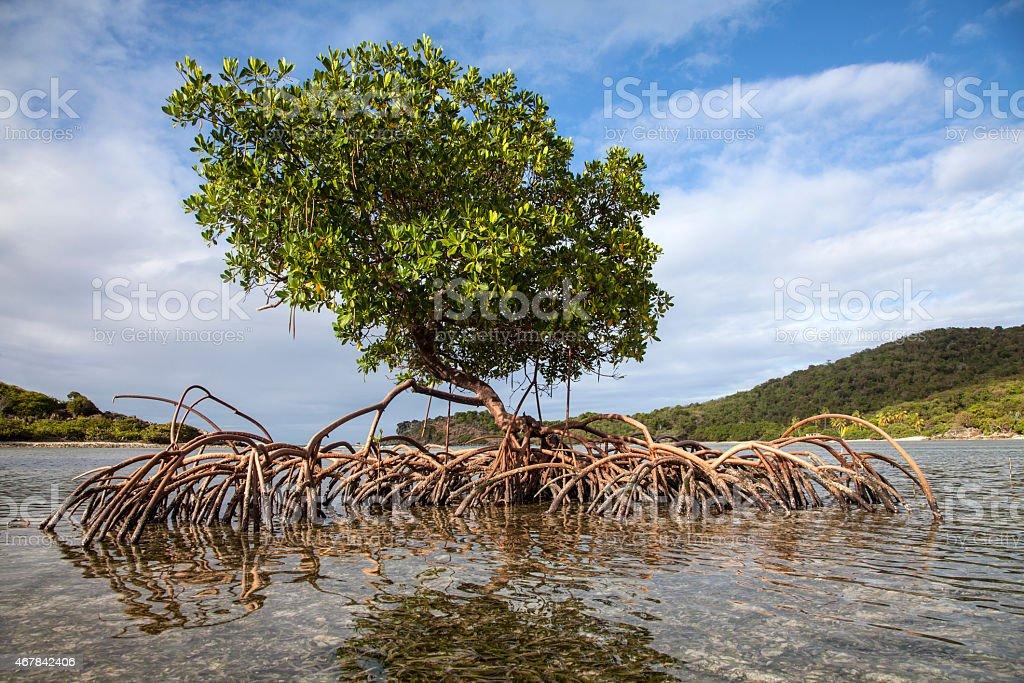 Mangrove in the Caribbean stock photo