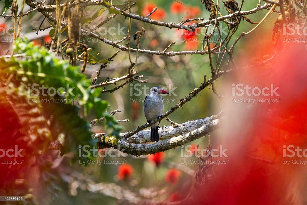 Mangrove Kingfisher stock photo