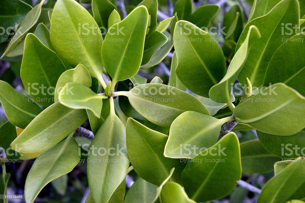 Mangrove Leaves royalty-free stock photo