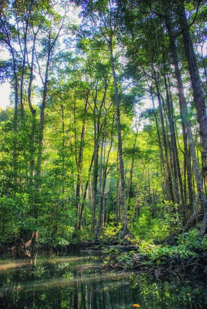 Mangrove on Apo Island Philippines, Mindoro, Apo Reef Natural Park, mangrove on Apo Island apothegm stock pictures, royalty-free photos & images