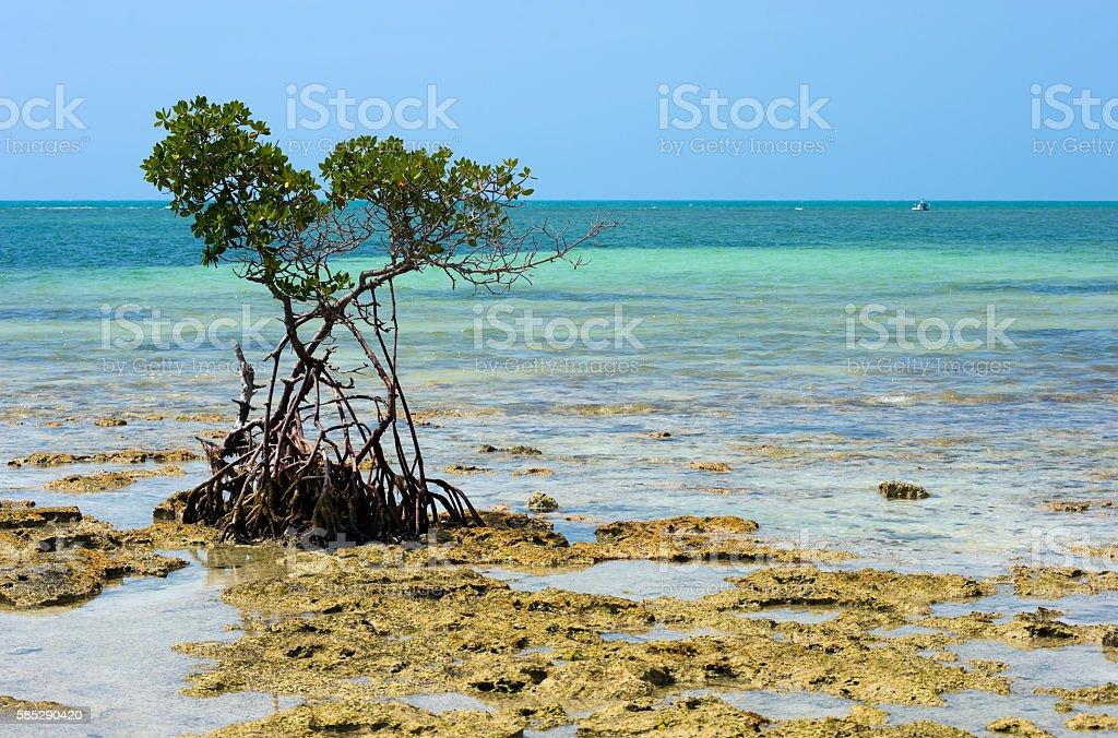 Mangrove on beach stock photo