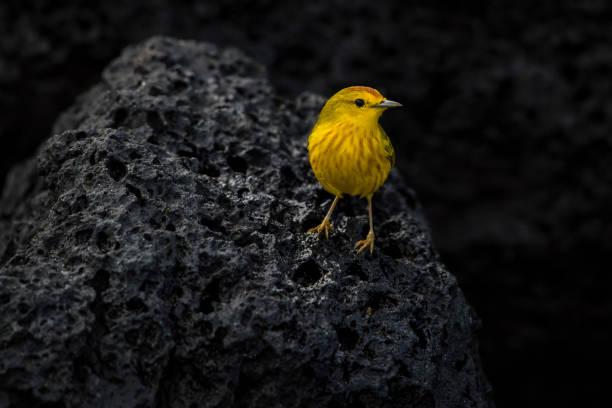 mangrove (of amerikaanse gele zanger) op lavasteen, isabella eiland, galapagos - amerikaanse zangers stockfoto's en -beelden