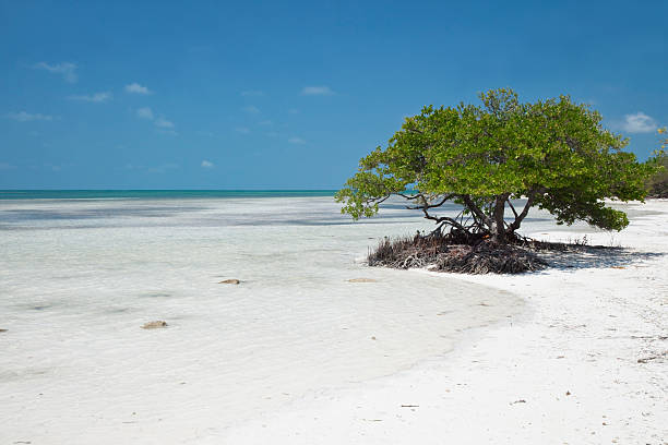 Mangrove am Strand – Foto