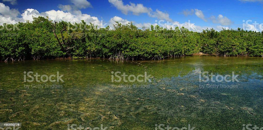 Mangrove panorama in Martinique island stock photo