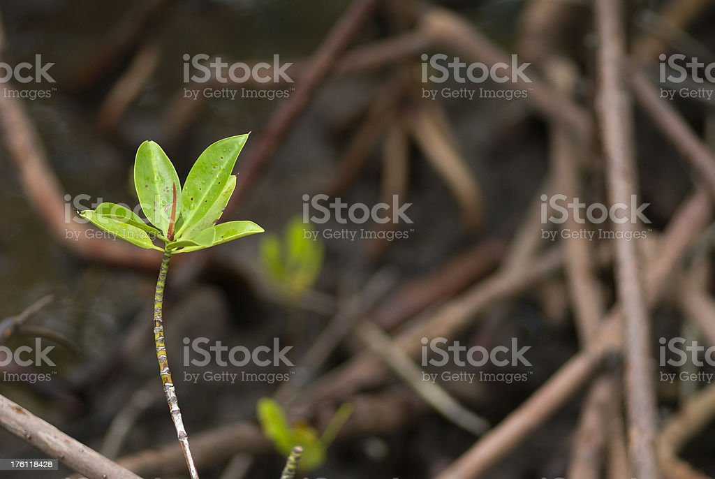 Mangrove plant royalty-free stock photo