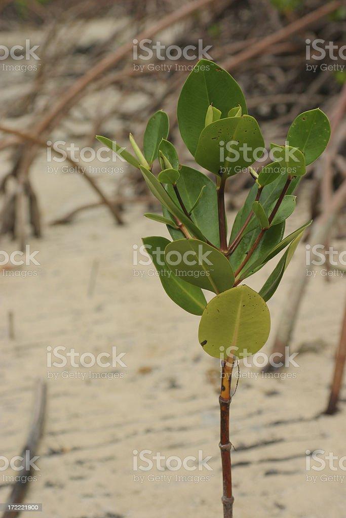 Mangrove Shoot royalty-free stock photo