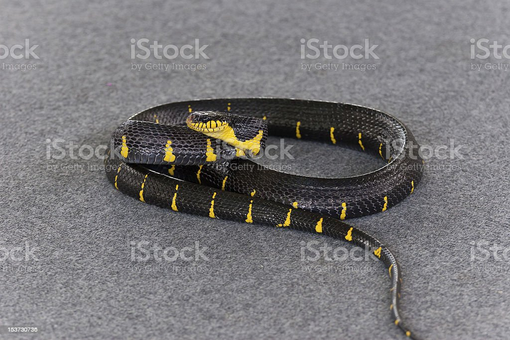 mangrove snake. boiga. stock photo