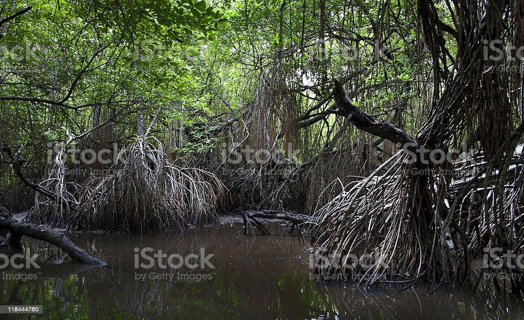 mangrove swamps stock photo