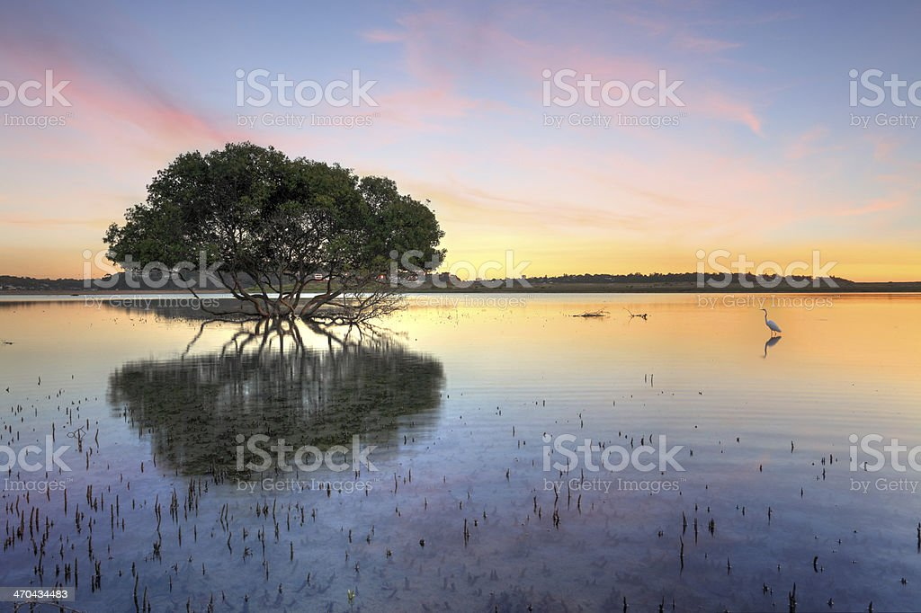 Mangrove Tree and White Egret stock photo