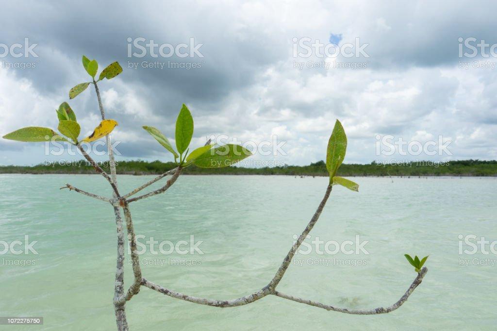 Árbol de mangle en la laguna - foto de stock