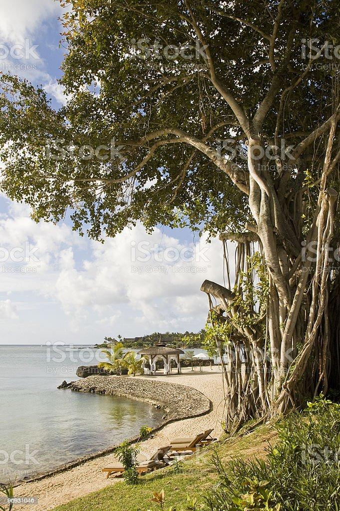 Mangrove Tree, Mauritius royalty-free stock photo