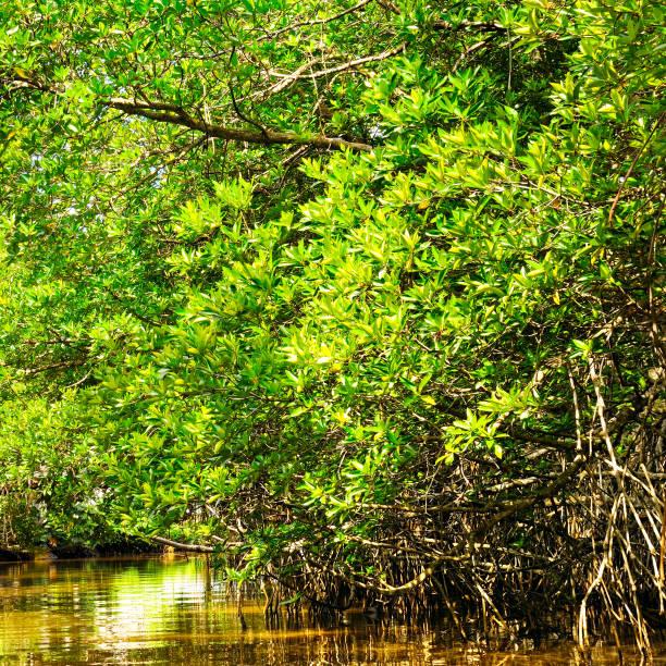 Mangrovenbaum über und unter Wasser Oberfläche, grünes Laub über der Wasserlinie und Wurzeln mit Meereslebewesen unter Wasser. – Foto