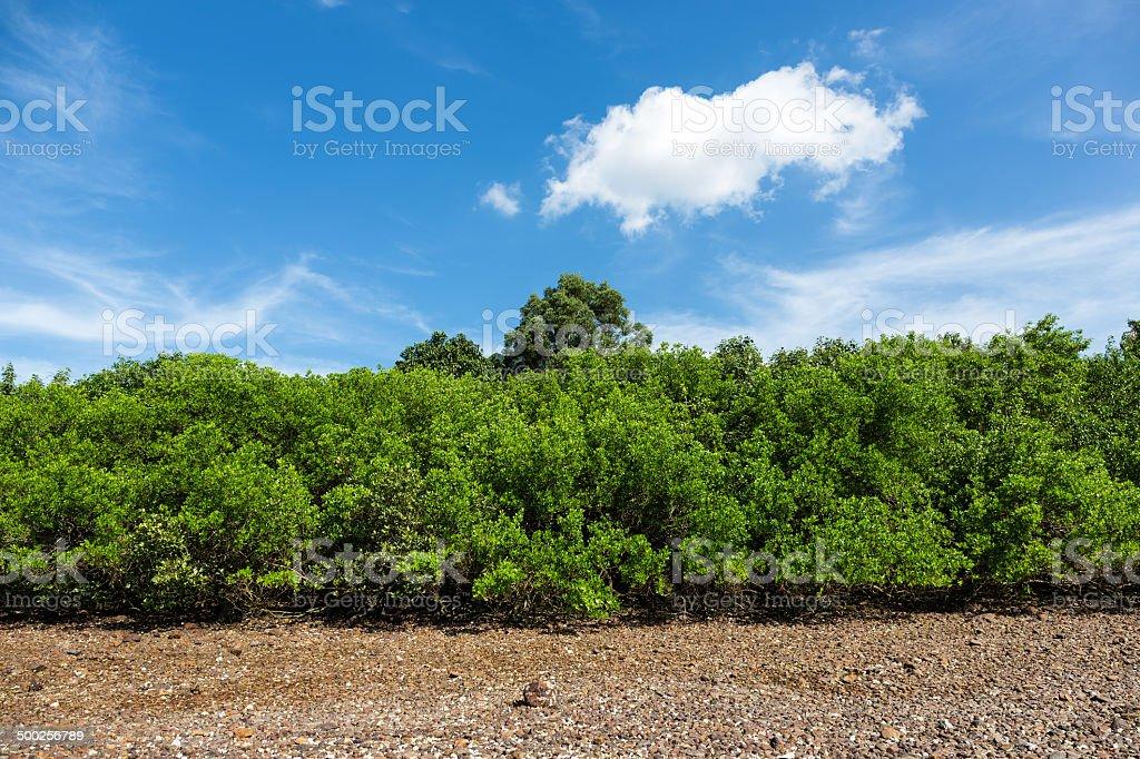 Mangrove Tree – Foto