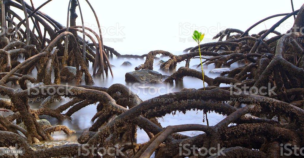 mangrove tree roots detail stock photo