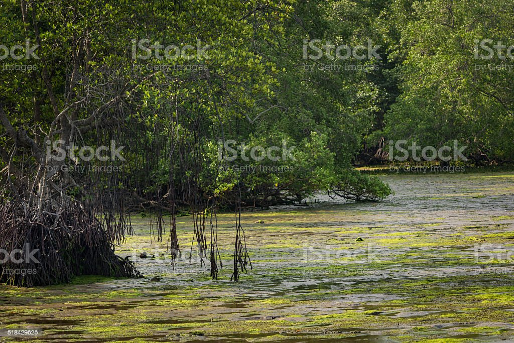 Mangrove trees along the coast at low tide stock photo