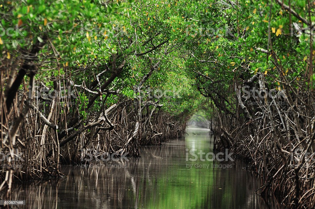 Mangrove trees along the turquoise green water in the stream stock photo