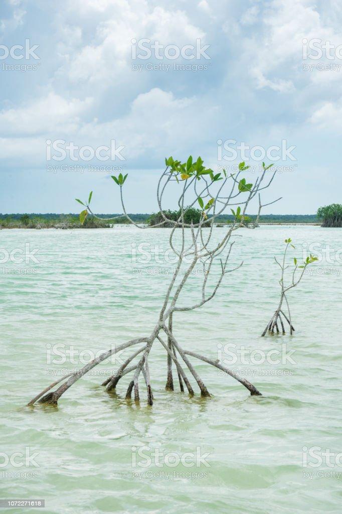 Árboles de mangle en la laguna - foto de stock
