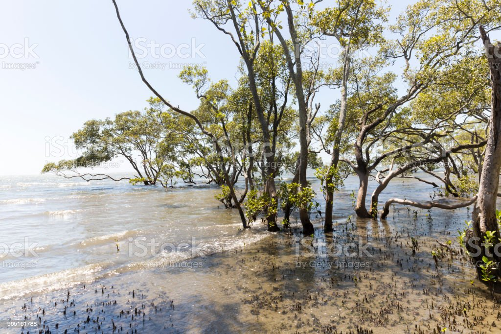 Mangrove Trees In The Bay royalty-free stock photo