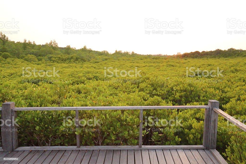 Mangrove trees of Thung  Prong Thong forest stock photo