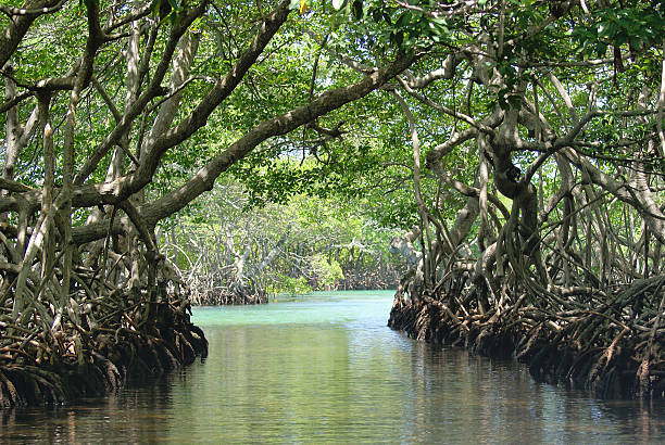 Mangrove Trees Path in Ocean Inlet Beautiful Mangrove waterway in salt water mangrove forest on Roatan, Honduras island in the Caribbean Ocean roatan stock pictures, royalty-free photos & images