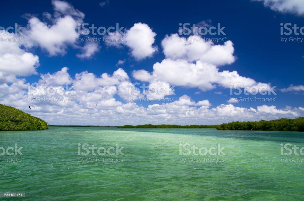 mangrove trees royalty-free stock photo