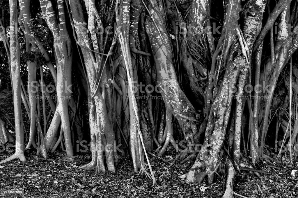 Mangrove trees. stock photo