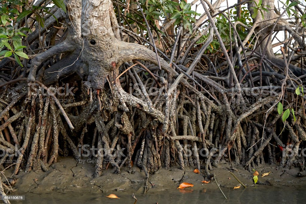 mangroves ecosystems thailand stock photo