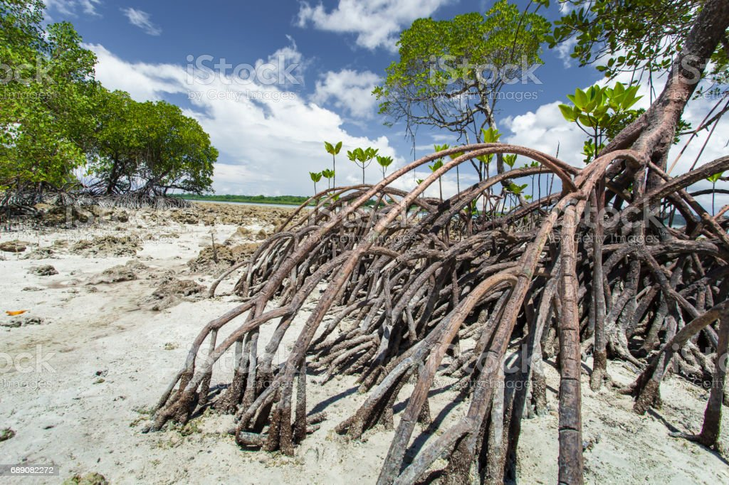Mangroves in Andaman beach, India stock photo