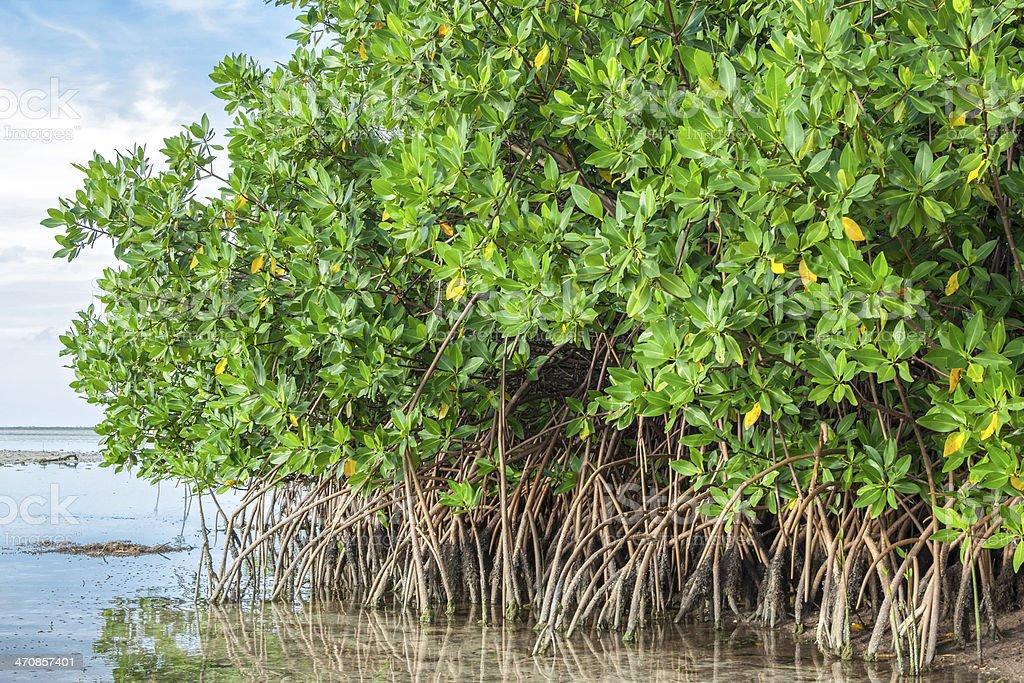 Mangroves in lagoon stock photo