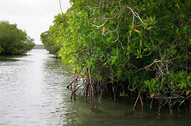 Mangroves, Parque Nacional del Este, Dominikanische Republik – Foto