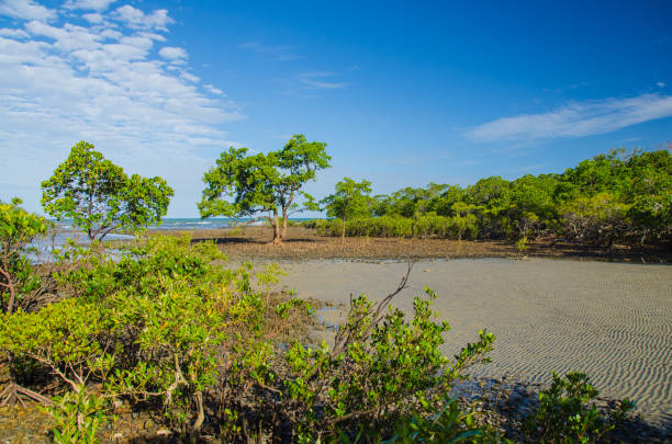Mangroves Mangroven an der Küste des Cape Tribulation. wasser photos stock pictures, royalty-free photos & images