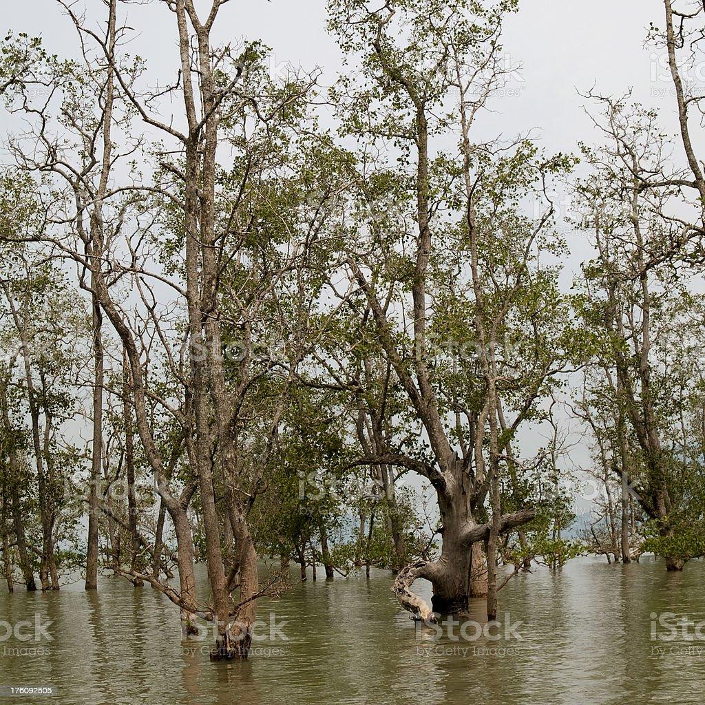 Mangroves royalty-free stock photo
