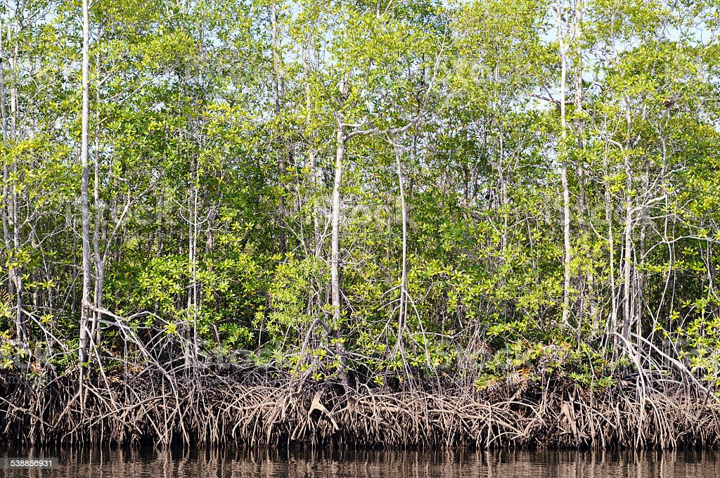 Mangroven – Foto