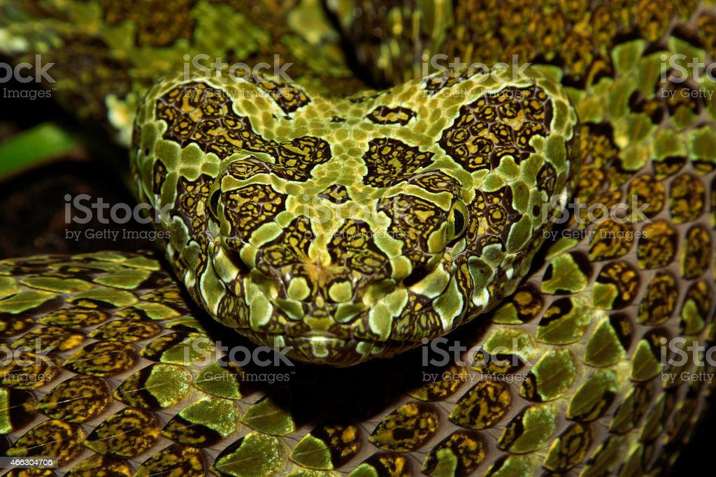 Mangshan Pit Viper - Venomous Snake stock photo